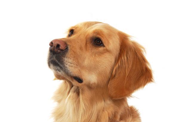 Borrelioosi Koira