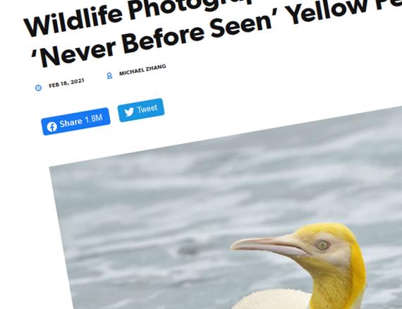"""Belgialainen kuvaaja ikuisti Etelä-Atlantilla äärimmäisen harvinaisen räikeänkeltaisen pingviinin – """"Ensimmäinen koskaan"""""""