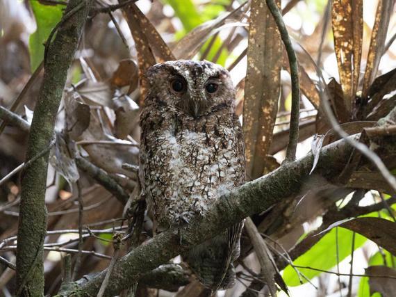 Myyttinen pöllölaji nähtiin ensi kertaa yli 120 vuoteen ja valokuvattiin viimein: Löytyi sademetsästä 1892 ja katosi sitten jäljettömiin – Tieteellinen nimi hupaisa